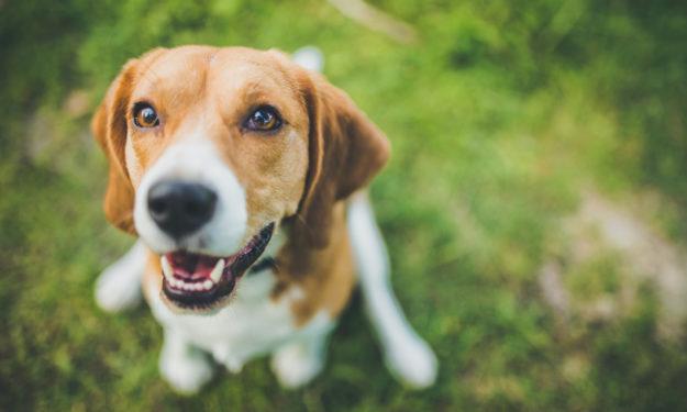 beagle smiling up at camera